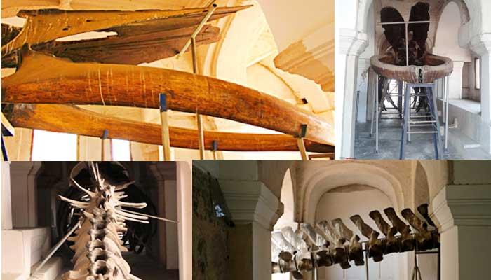 Baleen Whale Skeleton